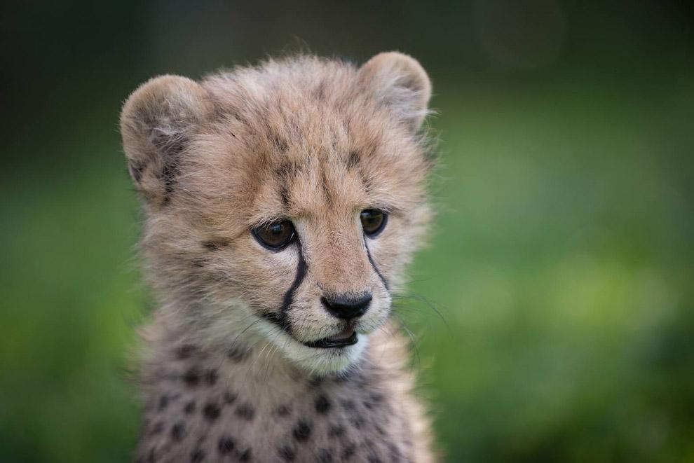 Кошка с собакой: детеныш гепарда подружился со щенком