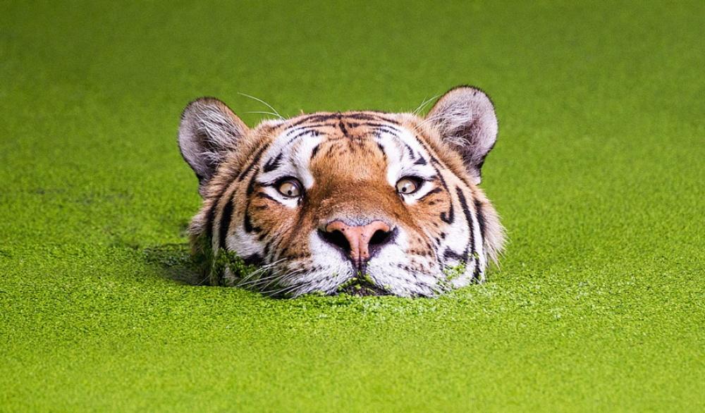 Тигры и их животный магнетизм
