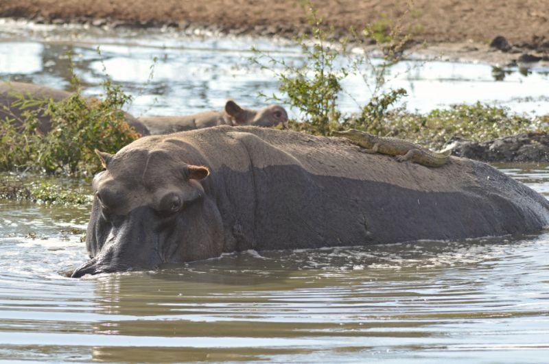 Нильский крокодильчик прокатился на спине бегемота