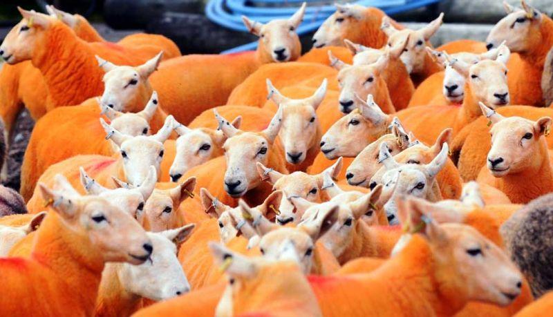 Как защитить отару овец от воров