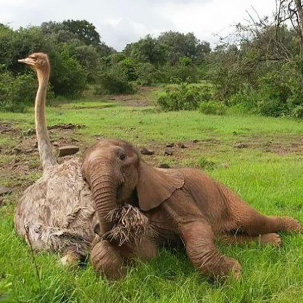 Страус, который думает, что он слон
