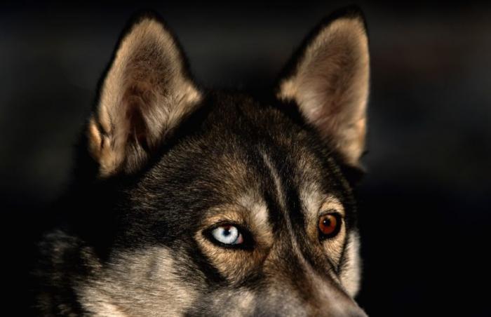Сибирский хаски - самая добрая из северных ездовых собак