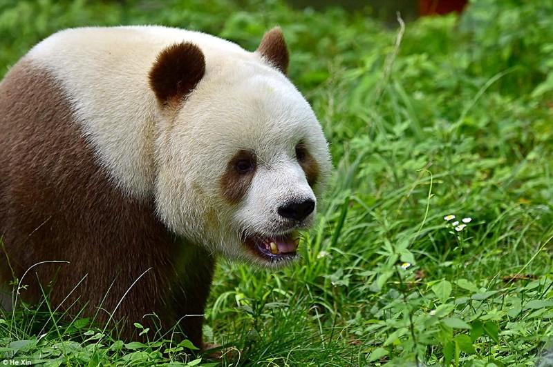 Единственная в мире коричневая панда живет в Шаньси