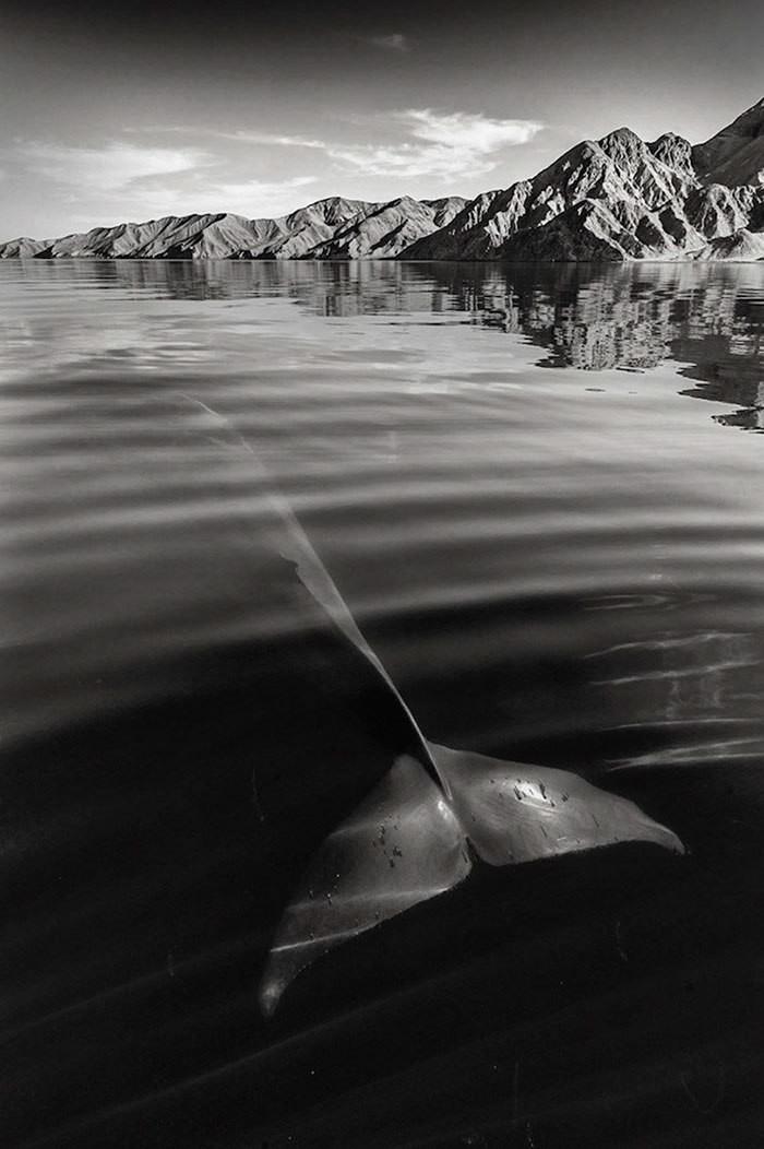 Киты от известного британского фотографа Кристофера Суонна