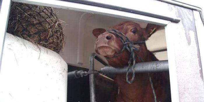 Корова думала, что едет на бойню, но ее привезли в совсем другое место