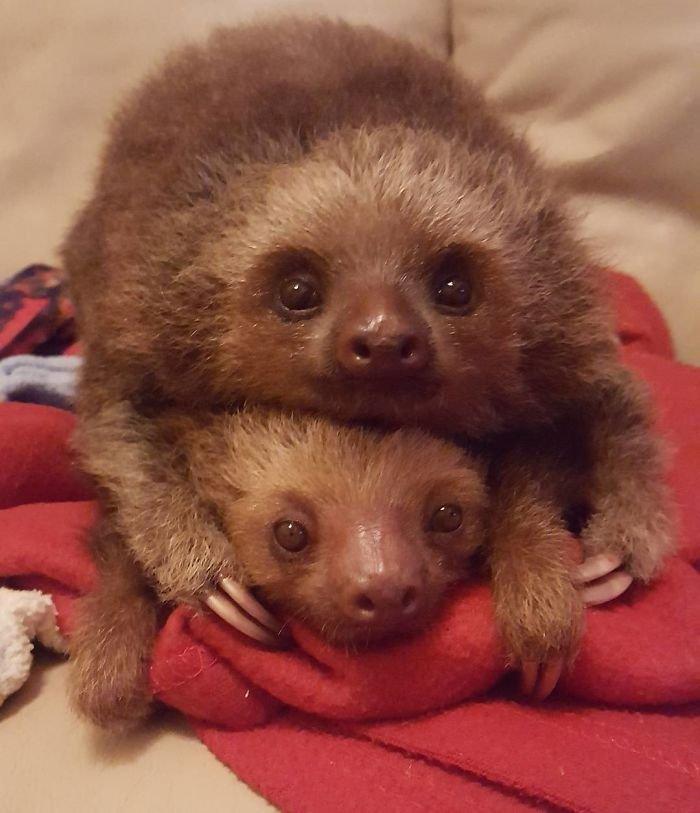 Два ленивца фото