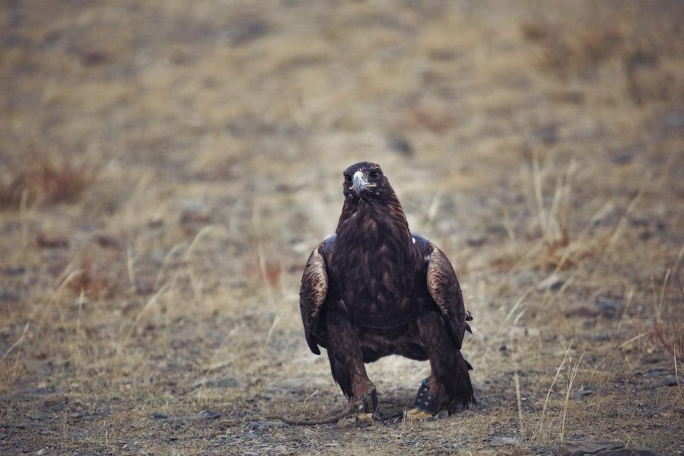 Фестиваль Золотой орел в Монголии