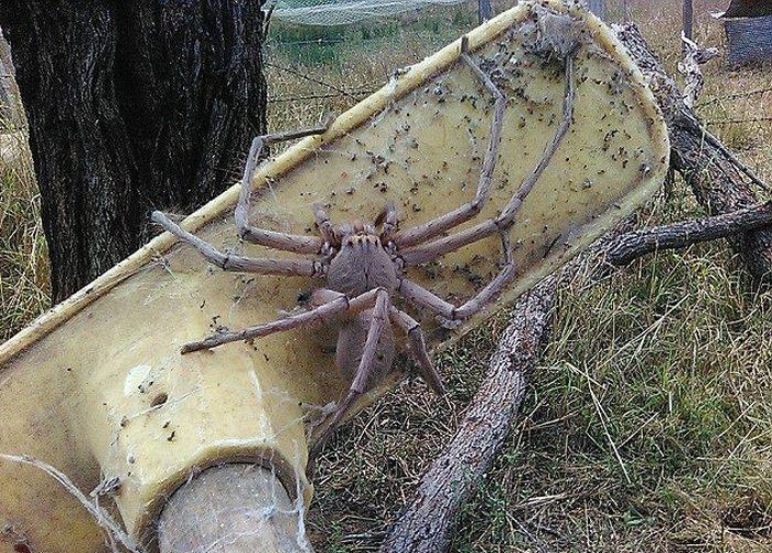 Жительница Австралии сфотографировала самого большого паука в мире