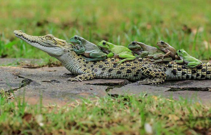 Бесстрашные лягушки оседлали каймана