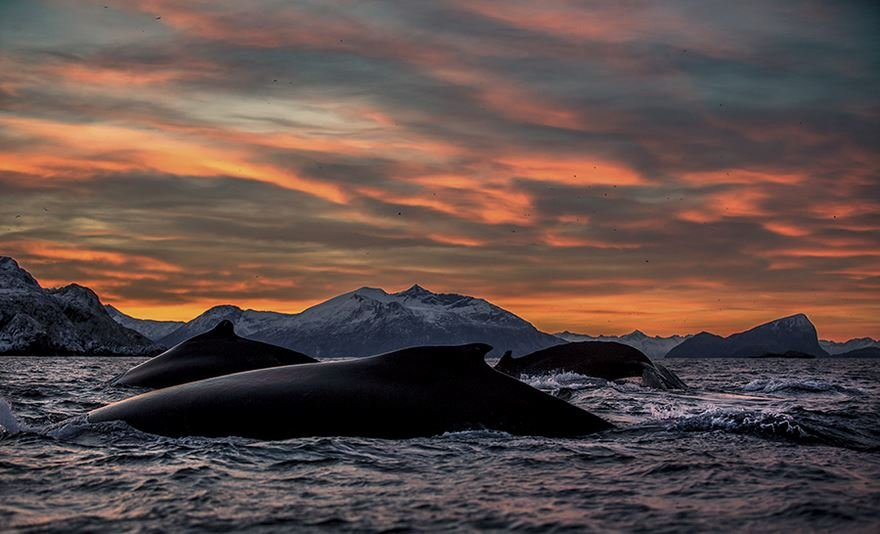 Захватывающие фотографии арктических китов
