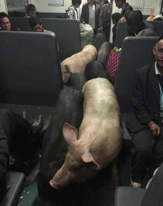 Китайский фермер вместе со своими свиньями путешествует на поезде