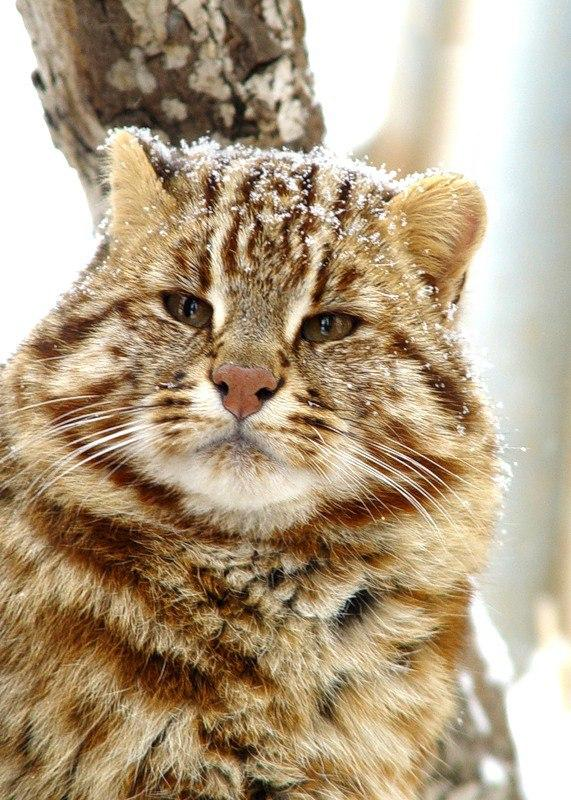 Амурский лесной кот