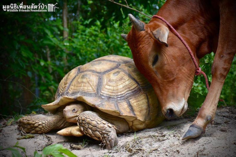 Лучшие друзья: гигантская черепаха и теленок, потерявший лапу