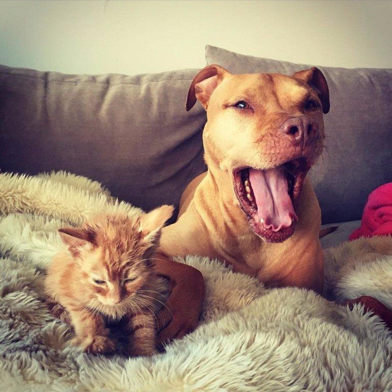 Питбуль и его любимый котенок