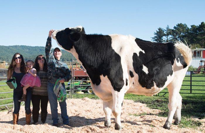 Дэнниел - самый высокий в мире бык ростом 193 см