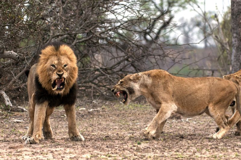 Царь зверей потерял клык в схватке с львицей