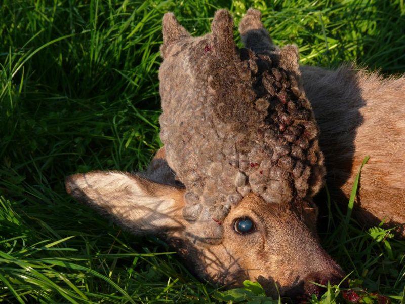 Не всегда новые рога у оленя вырастают красивее старых