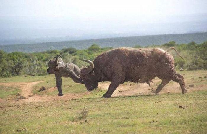 Слониха наказала буйвола