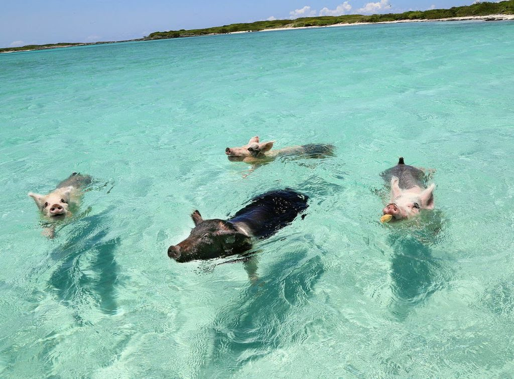 Плавающие свиньи у Багамских островов