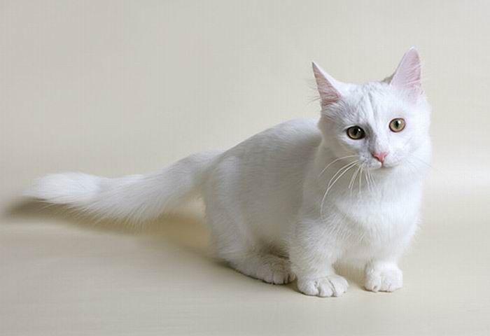 Манчкины - коротколапые коты