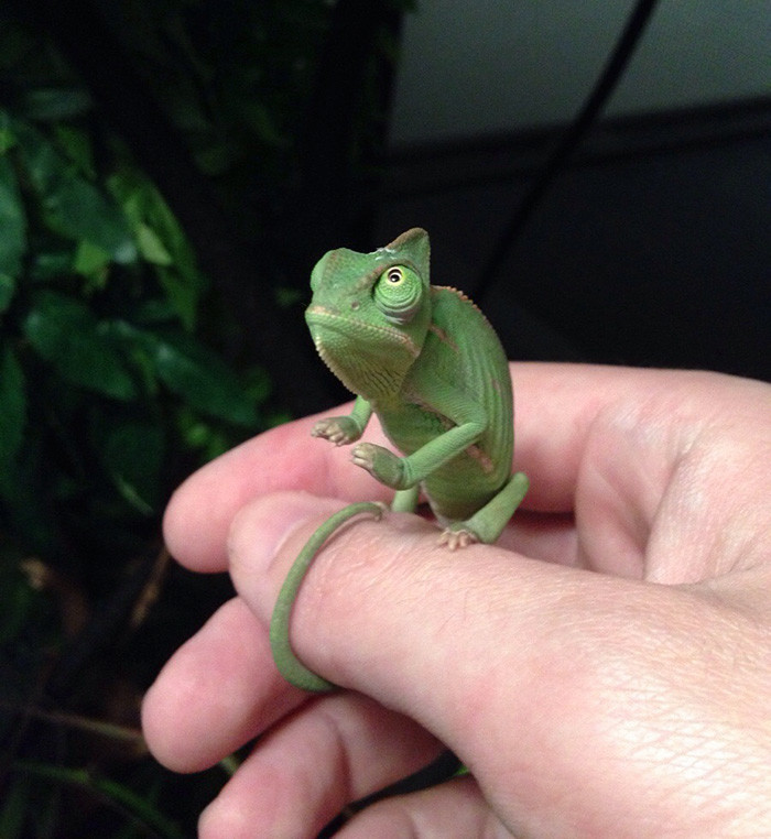 Очаровательные малыши-хамелеончики