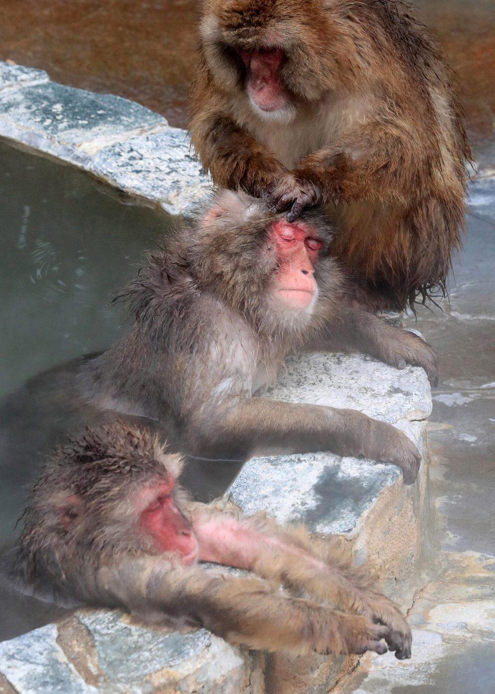 Японские макаки балдеют в горячих источниках