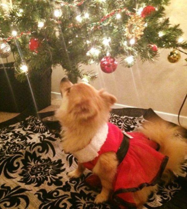 Собаки в ожидании Рождества и Нового года