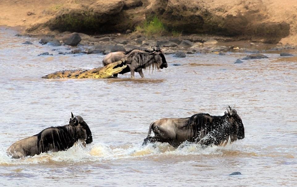 Антилопе удалось вырваться из зубастой пасти крокодила