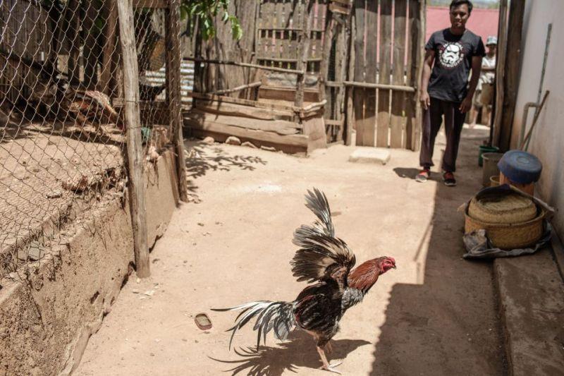 Варварский спорт: петушиные бои на Мадагаскаре