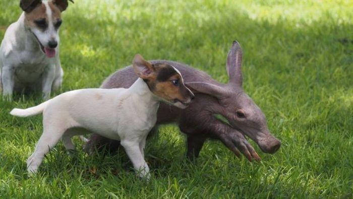 Детеныш трубкозуба считает себя собакой
