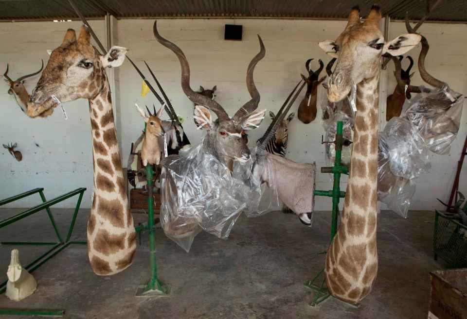 Таксидермическая фабрика в Намибии