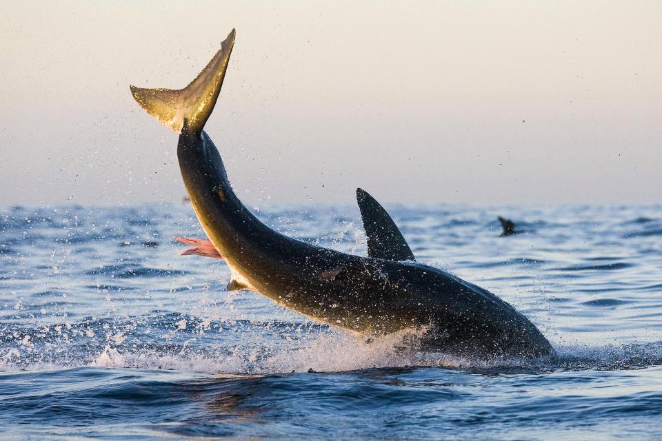 Большая белая акула выпрыгивает из воды, чтобы поймать тюленя