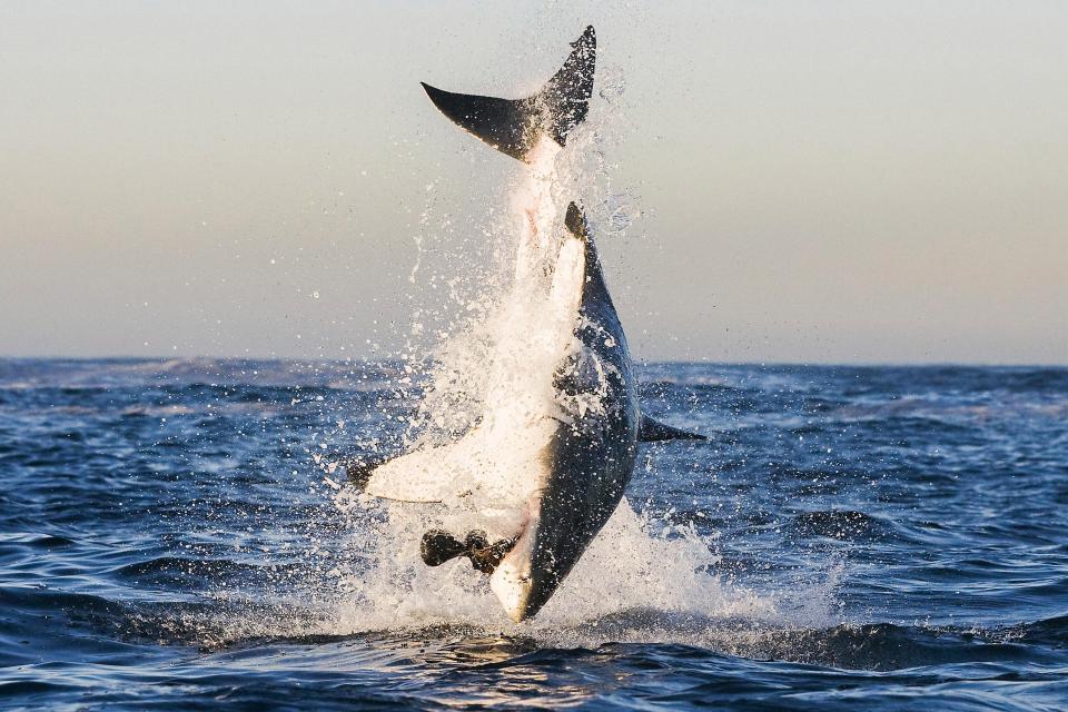 Акула из воды картинки