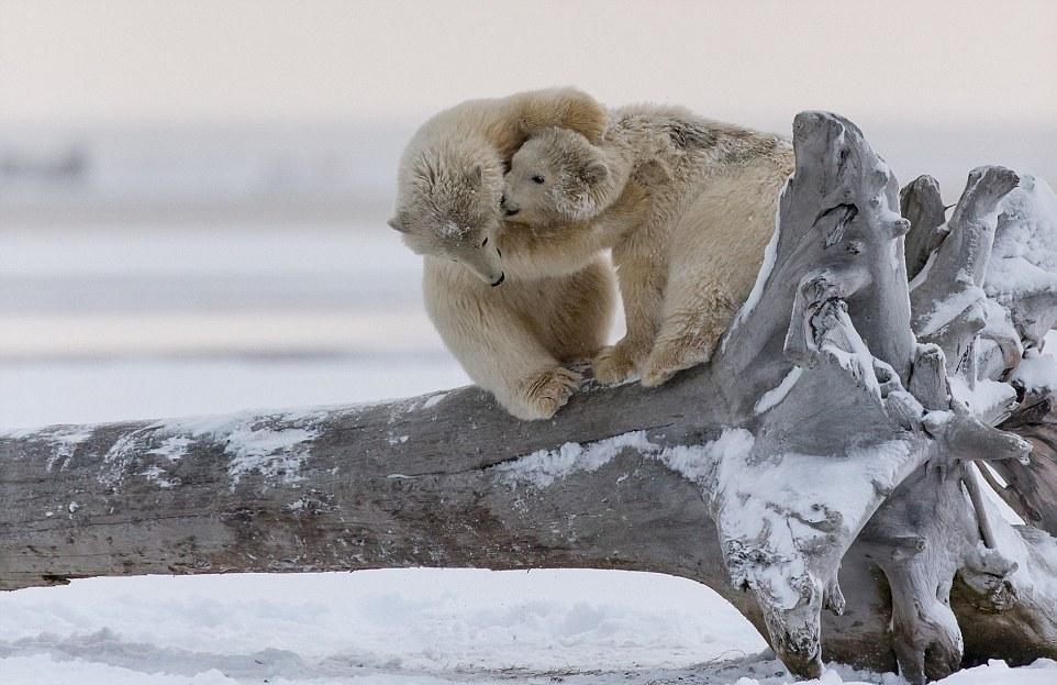 Шуточная схватка белых медвежат