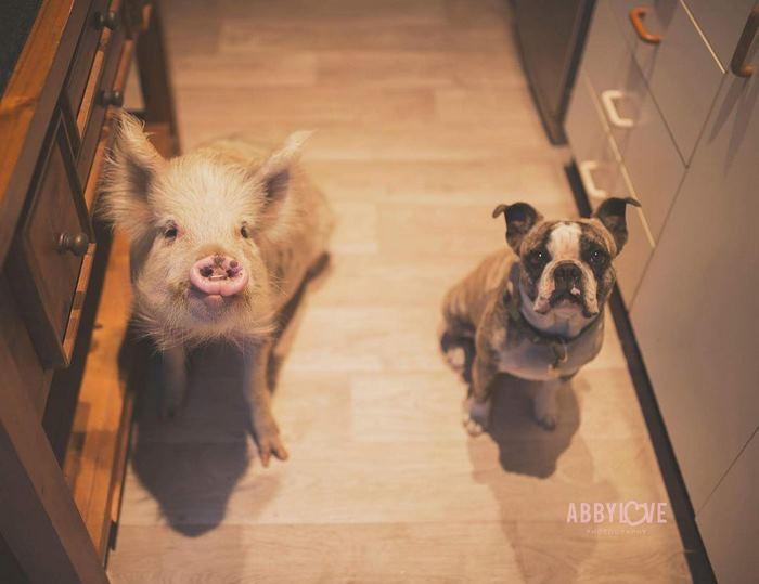 Эта свинка думает, что она собака