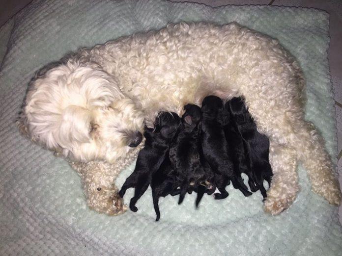 У двух белых собак родились абсолютно черные щенки