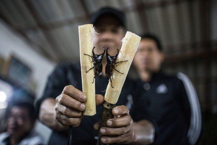 Бои жуков-носорогов в Таиланде