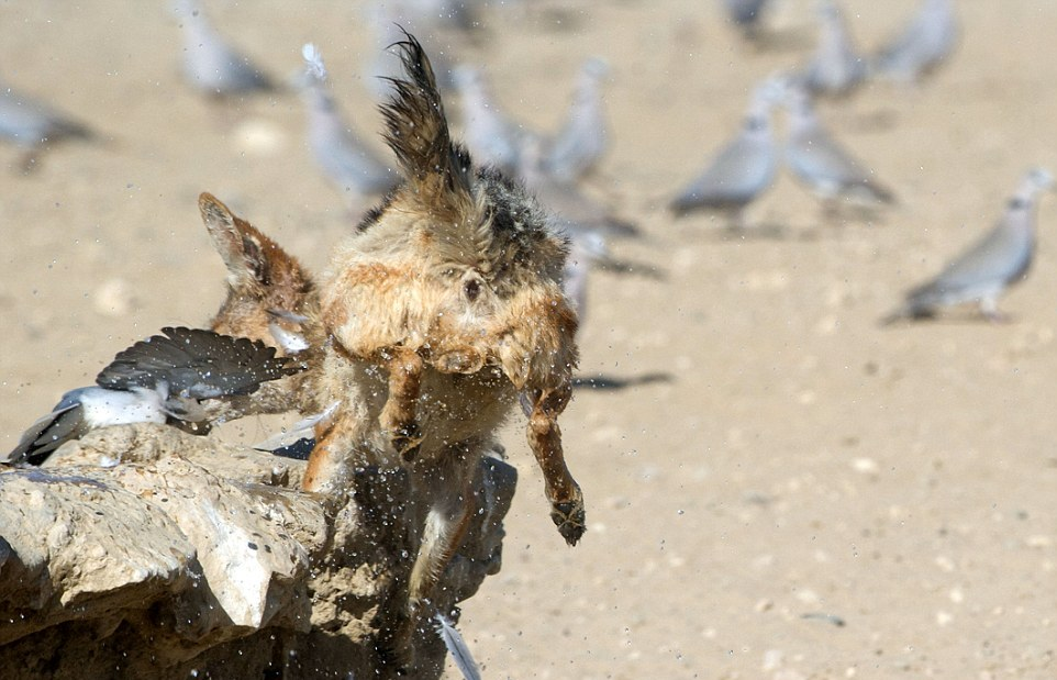 Как шакал охотился на голубей