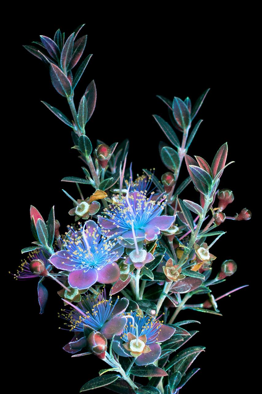 Красота цветов, освещённых ультрафиолетом