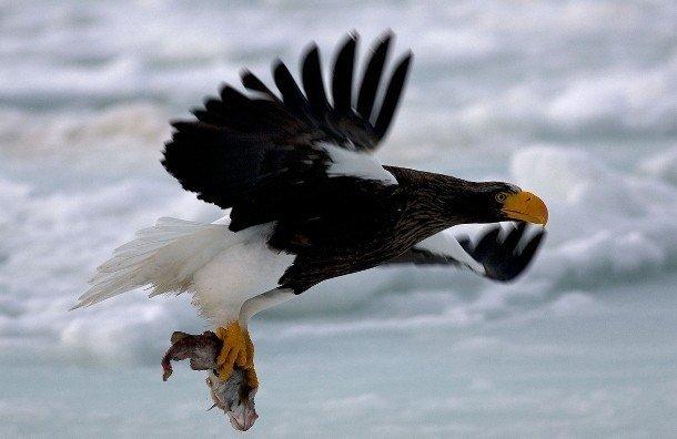 25 интересных фактов про орлов