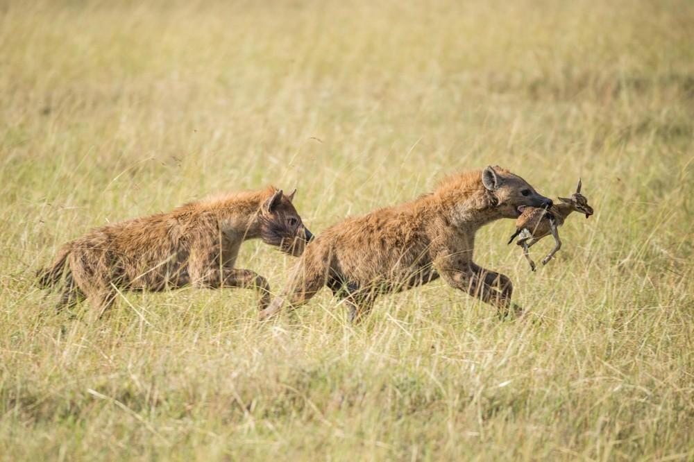 Стая гиен пыталась отнять добычу у двух львов