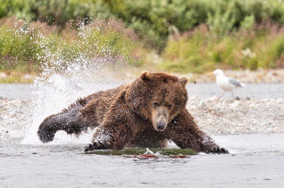 Полет медведя во время охоты на лосося