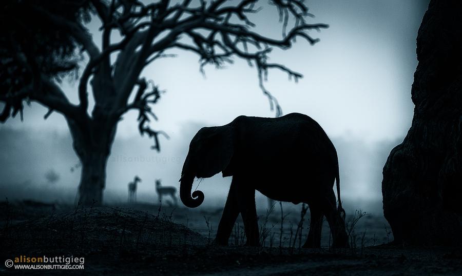 Портреты диких животных от Элисон Баттигиг