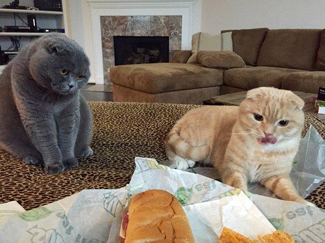 Когда коты охотятся за вашей едой
