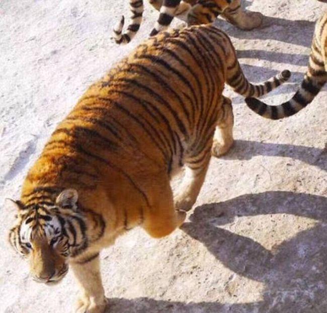 В китайском зоопарке амурские тигры растолстели