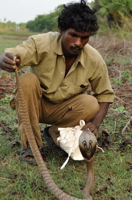 Ловцы змей: как в племени ирула освоили смертельно опасный промысел