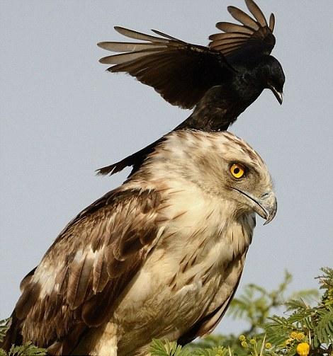 Ворона уселась на голову орлу