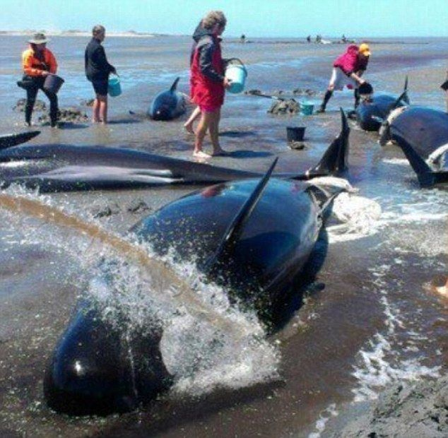 На побережье Новой Зеландии выбросились 416 дельфинов