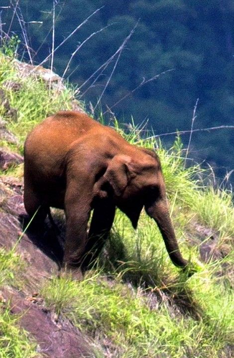 Слоны, пасущиеся высоко в горах Индии