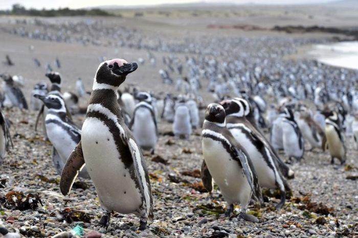 Нерест рыбы привлек в Аргентину рекордное количество пингвинов